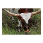Grazing Longhorn Posters