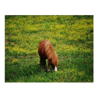 Grazing Pony... Postcard