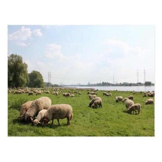 Grazing Sheep by the Rhine Postcard