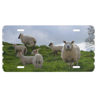 Grazing Sheep License Plate