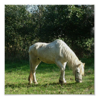 Grazing White Horse Poster