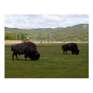 Grazing Wood Bison Postcard