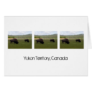 Grazing Wood Bison; Yukon Territory Souvenir Card