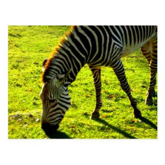 Grazing Zebra Postcard