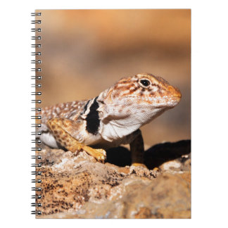 Great Basin Collared Lizard - Burr Trail - Utah Notebook