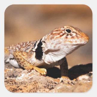 Great Basin Collared Lizard - Burr Trail - Utah Square Sticker