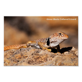 Great Basin Collared Lizard Posters
