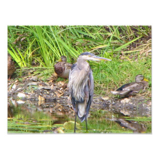 Great Blue Heron 8x10 Photo