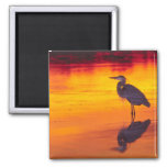 Great Blue Heron (Ardea herodias) fishing at 2 Inch Square Magnet