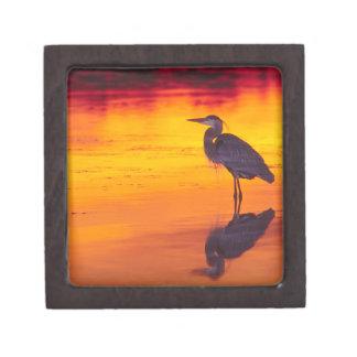 Great Blue Heron (Ardea herodias) fishing at Gift Box