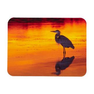 Great Blue Heron (Ardea herodias) fishing at Magnet