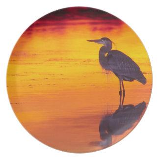 Great Blue Heron (Ardea herodias) fishing at Melamine Plate