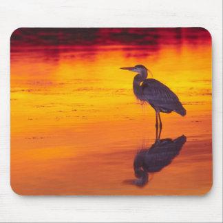 Great Blue Heron (Ardea herodias) fishing at Mouse Pad