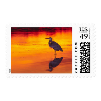 Great Blue Heron (Ardea herodias) fishing at Postage Stamp