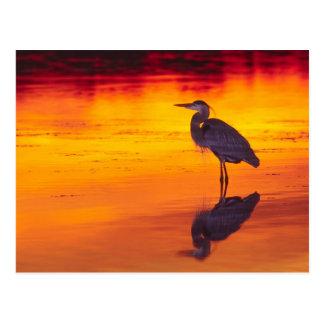 Great Blue Heron (Ardea herodias) fishing at Postcard