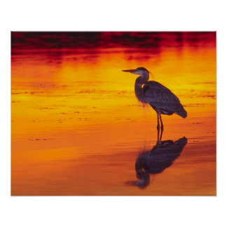 Great Blue Heron (Ardea herodias) fishing at Poster