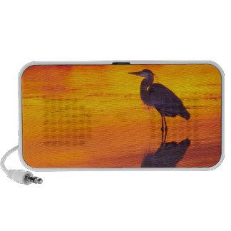 Great Blue Heron (Ardea herodias) fishing at Laptop Speakers