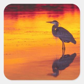 Great Blue Heron (Ardea herodias) fishing at Square Sticker