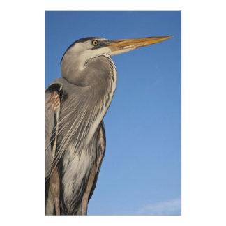 Great Blue Heron Ardea herodias) Puerto Photo Print