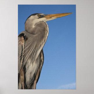 Great Blue Heron Ardea herodias) Puerto Poster