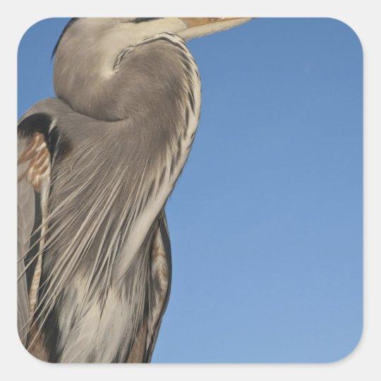 Great Blue Heron Ardea herodias) Puerto Square Sticker