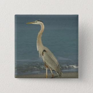 Great Blue Heron (Ardea herodias) standing along Button