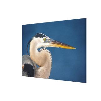 Great Blue Heron (Ardea herodias). USA, Florida, Canvas Print