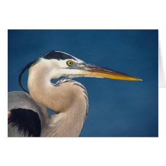 Great Blue Heron (Ardea herodias). USA, Florida, Card