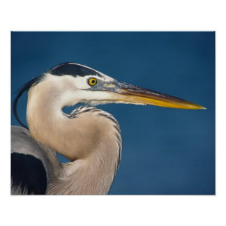 Great Blue Heron (Ardea herodias). USA, Florida, Poster