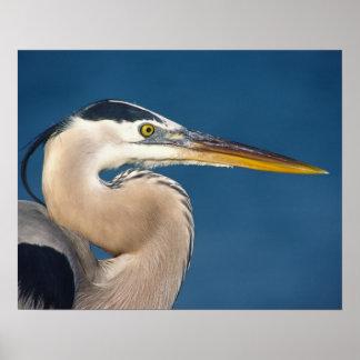 Great Blue Heron (Ardea herodias). USA, Florida, Poster