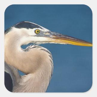 Great Blue Heron (Ardea herodias). USA, Florida, Square Sticker