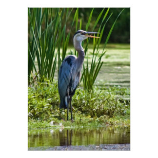 Great Blue Heron at the Pond Poster