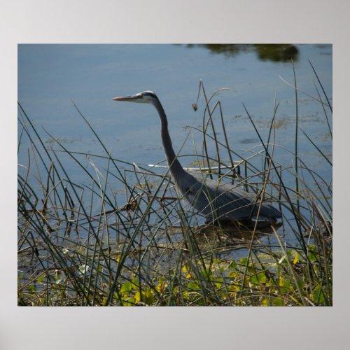 Great Blue Heron at Viera Wetlands Poster