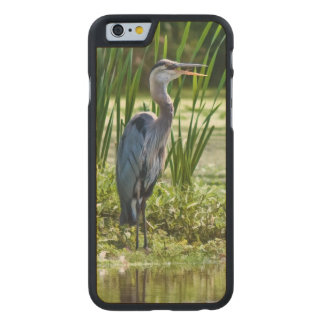 Great Blue Heron Bird at the Pond Carved Maple iPhone 6 Slim Case