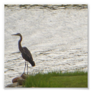 Great Blue Heron by Edge of Water Photo Print