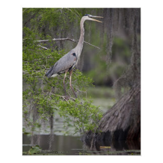 Great Blue Heron calling form cypress tree Poster
