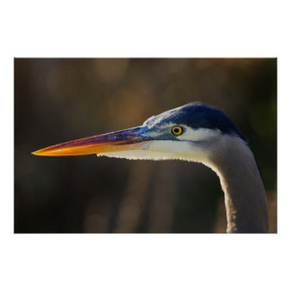 Great Blue Heron, close up portrait Poster