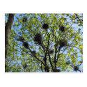 Great Blue Heron Colony Postcard