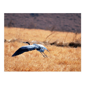 Great blue heron flying Low Postcard