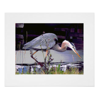 Great Blue Heron Foraging Poster
