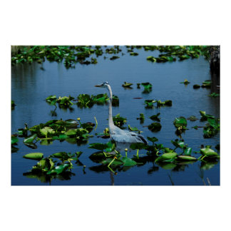 Great Blue Heron Hunting in the Everglades Poster