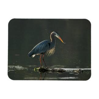 Great Blue heron in evening light Magnet