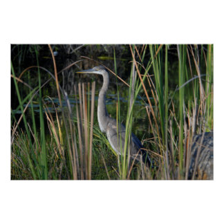 Great Blue Heron in the Everglades Grass Poster