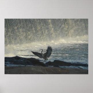 Great Blue Heron Landing at Eagle Dam Poster