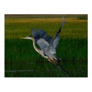 "Great Blue Heron ""lifting off"" Postcard"