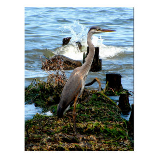 Great Blue Heron on the Chesapeake Bay Postcard