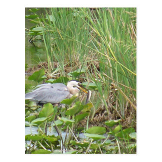 Great Blue Heron Post Cards