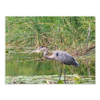 Great Blue Heron Profile 8x10 Photo