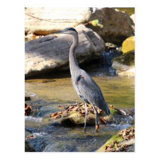 Great Blue Heron standing in creek photo Postcard