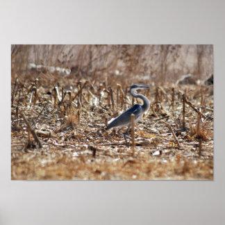 Great blue heron walking tall poster